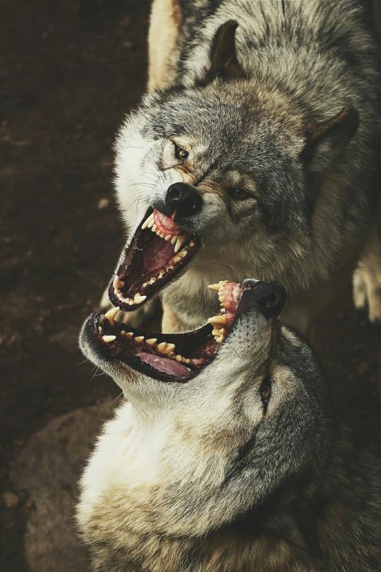 timber-wolves-smile-jim-cumming-instagram