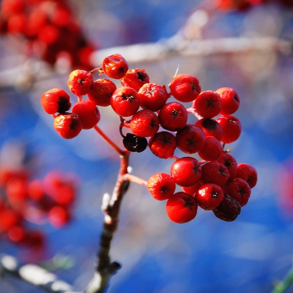 Autumn/Winter Berries on a tree in New Zealand - Does anyone know what these are?