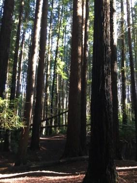 Redwood Forest, The Otways, Great Ocean Road