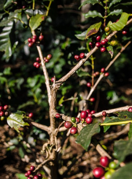 Chikmagalur coffee estate