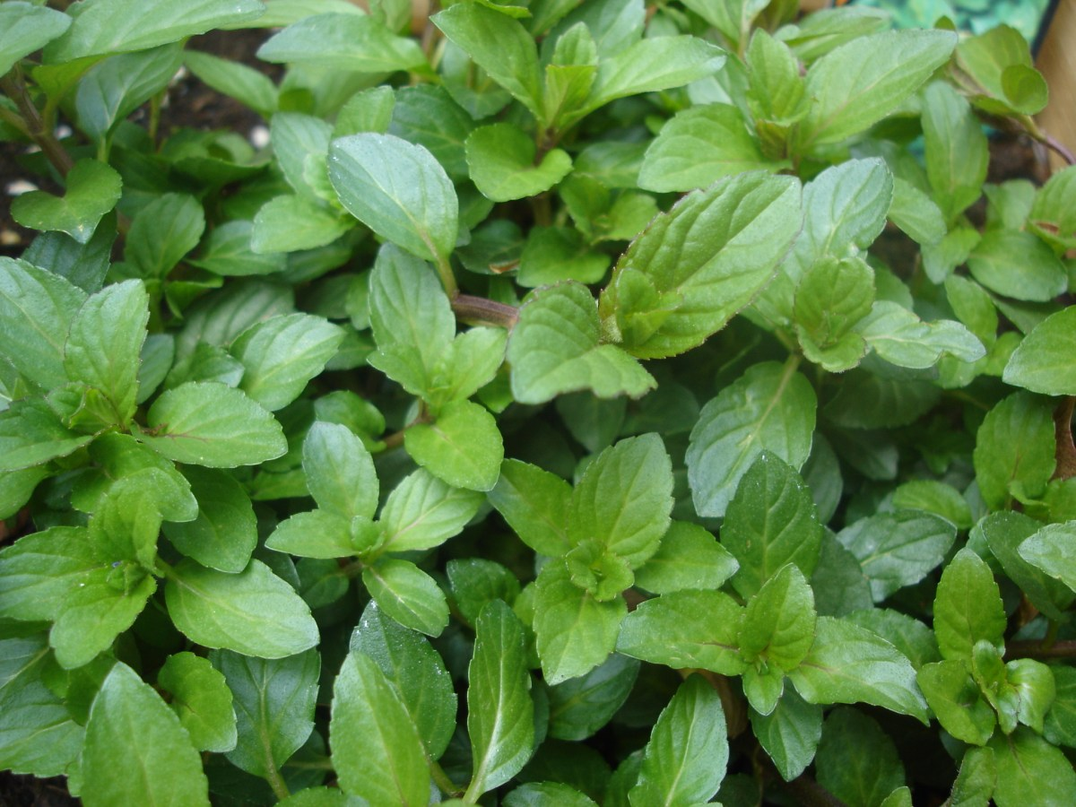 10 Great Ways to Use Fresh Mint!