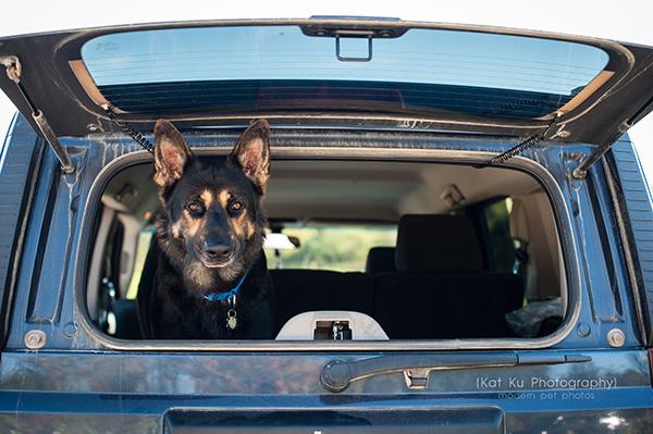 Kat Ku Photography_Bentley_German Shepherd_10