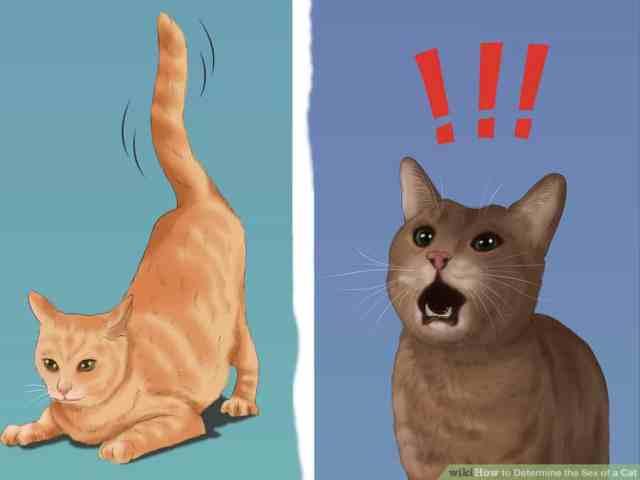 kedilerde cinsiyet anlamak 7