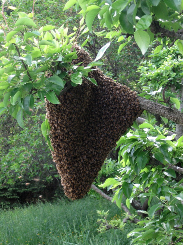Some bee swarms are easy to get; others are more work