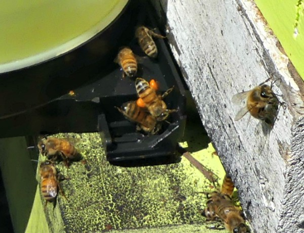 Honeybees bringing in orange pollen which is a necessary protein to growing brood
