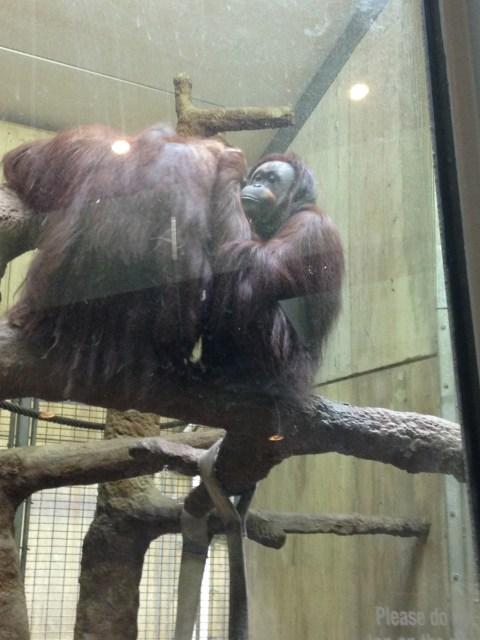 Hugging orangutans