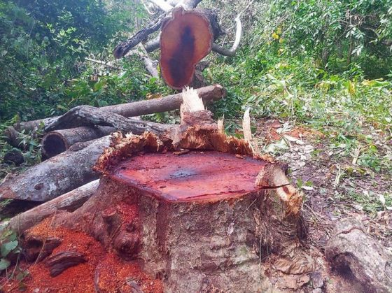 A tree lies on the ground near Koh Ker in Preah Vihear province last week after it was illegally felled. Photo supplied