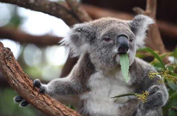 Koala Facts: 20 Amazin...