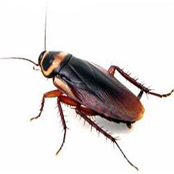 German-cockroachIndex