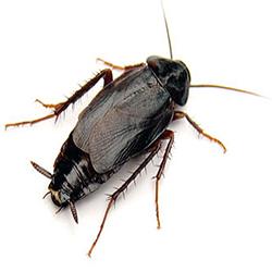 oriental-cockroachIndex