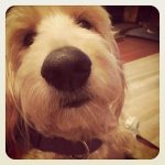 Dogs-of-KiddNation-Josie-the-GoldenDoodle
