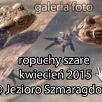 szczecin, żaby, ropuchy, ropucha szara, ropucha zwyczajna, bufo bufo, jezioro szmaragdowe, kierunek szczecin, zdjęcia, galeria fotografii
