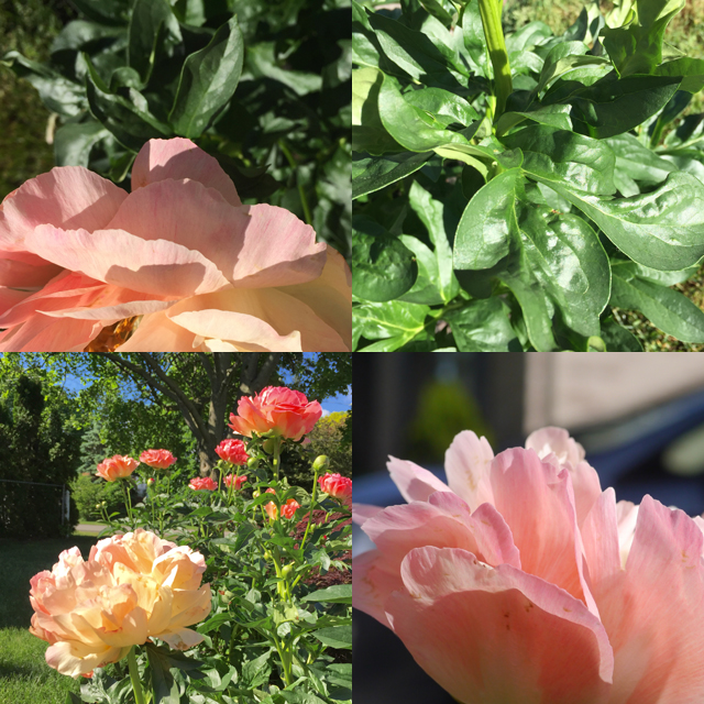 peony perspectives