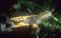As seen on this juvenile, on chicken turtles the submarginal spotting is restricted to the bridge area.
