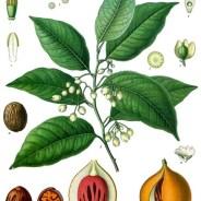 Following the Spice: Nutmeg & Mace