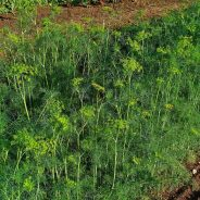 Herbs and Spices Day: Dill is Anything but Dull