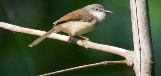 Golanera, l'uccello indicatore capisce l'uomo e lo guida verso gli alveari alla ricerca del miele