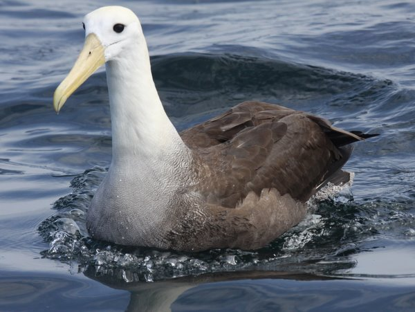 Waved Albatross. Photo: Gunnar Engblom