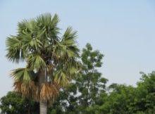 Palm 250
