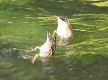 ducks bums 250