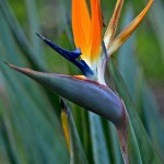 Weekly Photo 7/52 for 2013: Bird of Paradise