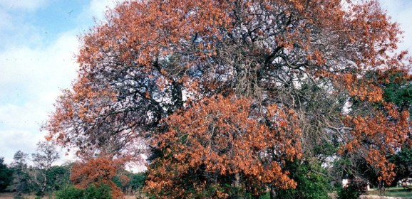 Texas A&M Forest Service Urges Caution to Prevent Spread of Oak Wilt Disease