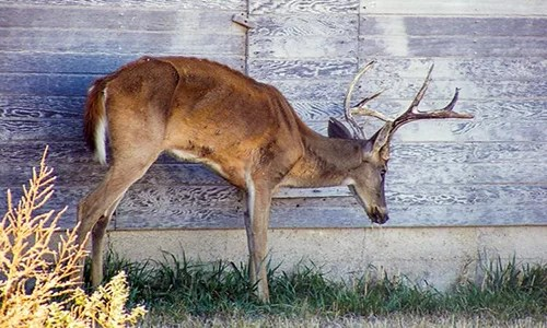 Deer Hunters: Help Missouri Department of Conservation find and limit CWD by having deer tested