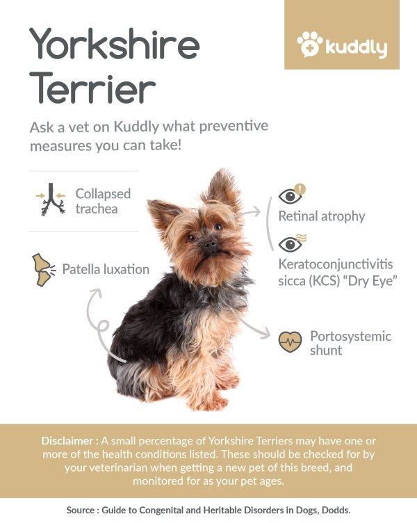 Kuddly Yorkshire Terrier