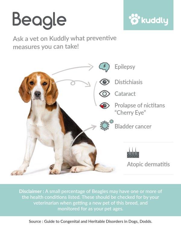 Kuddly Beagle
