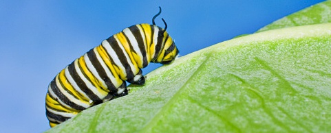 Caterpillar of a Monarch butterfly