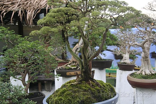 pokok bonsai pesta flora