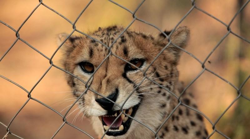 Finders Keepers Cheetah