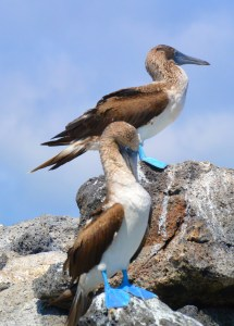 5 Blue Footed Boobies