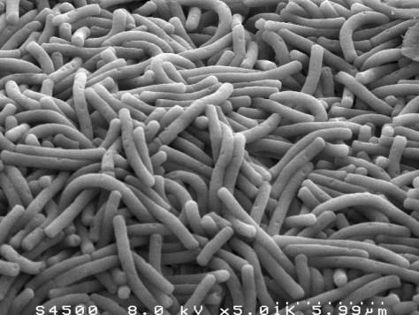 lactobacillus_bulgaricus_3