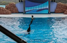 "One of the female dolphin trainers carried by a dolphin during a water show at ""The Big Ocean"" inside Adventure World in Shirahama, Wakayama ken."