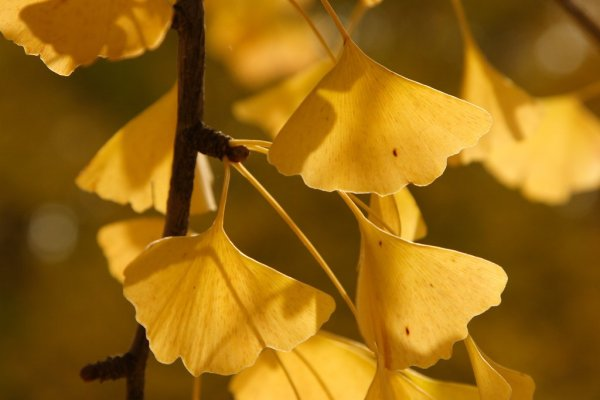 Autumn Ginkgo Leaves, Japan
