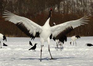 japanese_cranes_at_akan_national_park_hokkaido