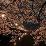 Night_Sakura_at_Kema_Sakuranomiya_Park_in_Osaka