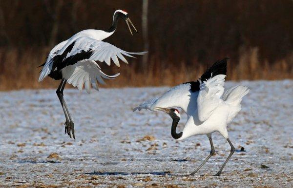 red_crowned_crane_in_akan
