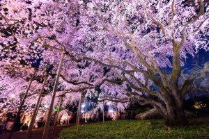 Weeping_Cherry_Tree_at_Rikugien_Garden_in_Tokyo_Yozakura