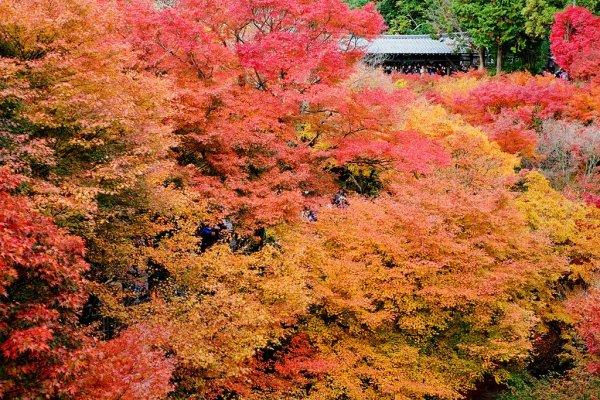 Tofukuji_Temple_Autumn_Leaves_Kyoto