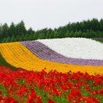 farm_tomita_flower_garden_furano_japan