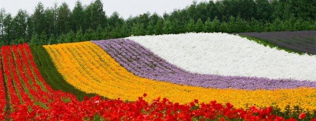 Lavender Season in Hokkaido | Visit Furano and Biei