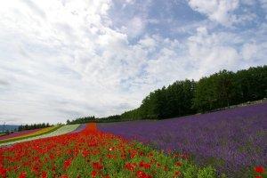 Furano_Flower_Garden_in_Hokkaido
