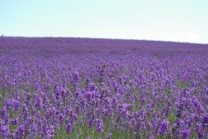 Lavender_Garden_Furano_Hokkaido