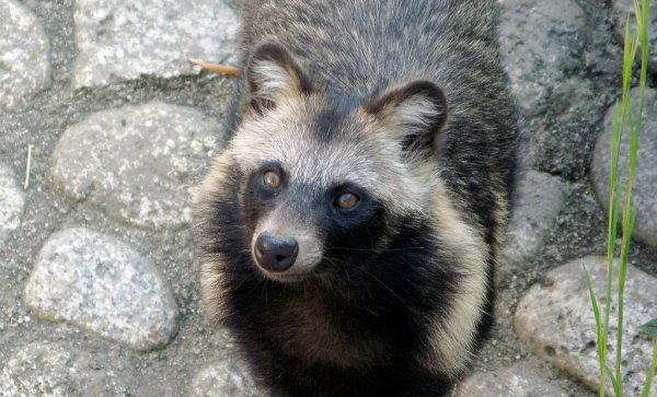 Real_Tanuki_Japanese_Raccoon_Dog