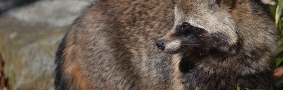Japanese Raccoon Dog (Tanuki)
