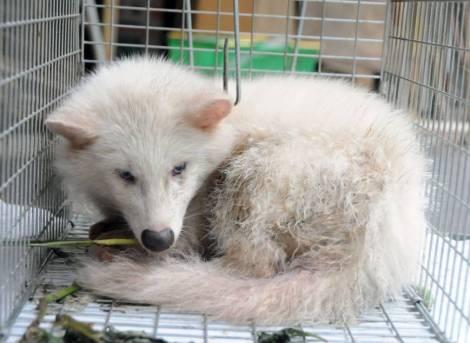 White_Raccoon_Dog_Tanuki_Japan
