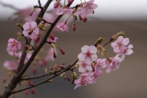 Cherry_Blossom_Buds_Japan