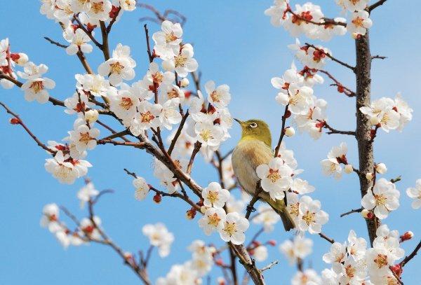 Japanese_White_Eye_in_the_Plum_Blossom